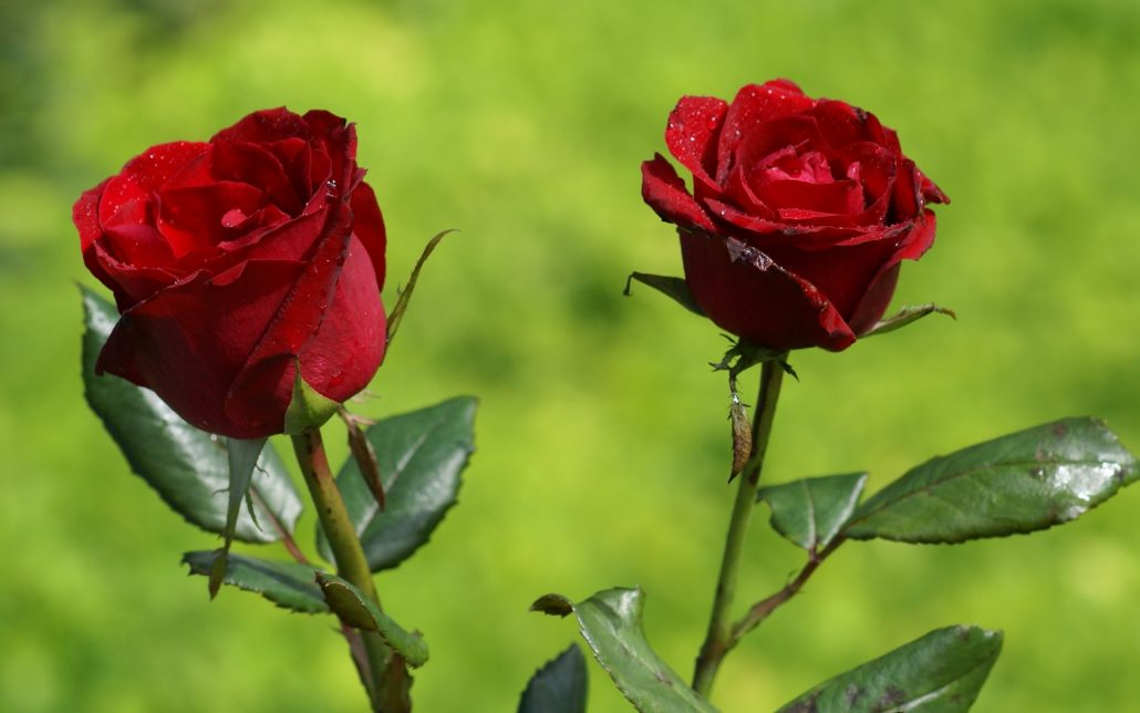 most beautiful roses